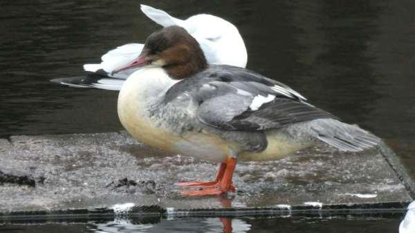 A wystarczy wezwać specjalistę ornitologa Konstancin-Jeziorna oraz polecić mu stworzenie odpowiedniego sprawozdania – opinie ornitologicznej Konstancin-Jeziorna.